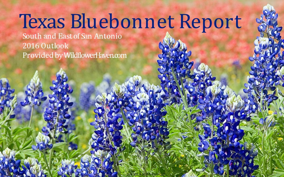Texas Bluebonnet Report - South/East of San Antonio 2016
