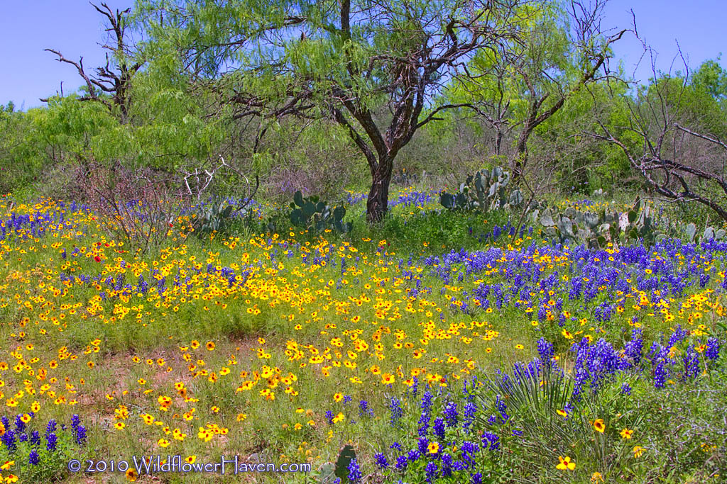 Texas Wildflower Scene